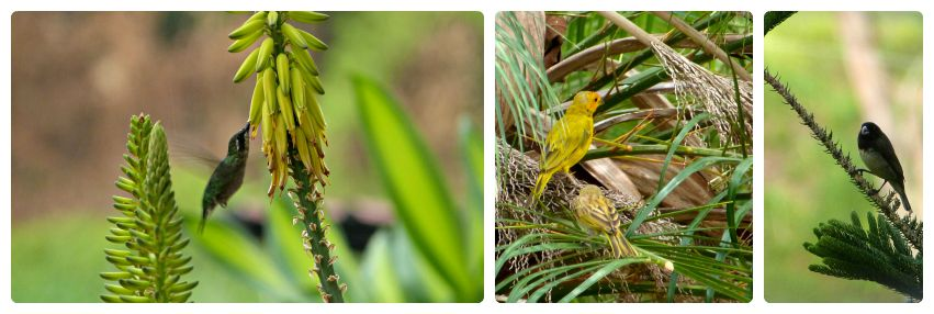Photos de 3 oiseaux rencontrés dans le jardin : Trochilinae, Serinus canaria et Sporophila