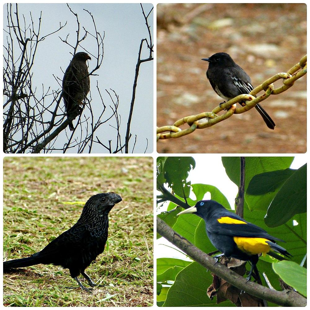 4 otras especies de aves encontradas en el Parque del Café: Buteogallus schistaceus, Sayornis nigricans, Crotophaga ani, Cacicus cela