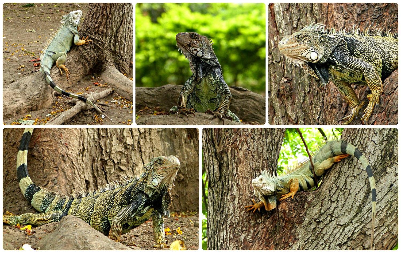 Otros Iguanidae encontrados en un parque de Buga