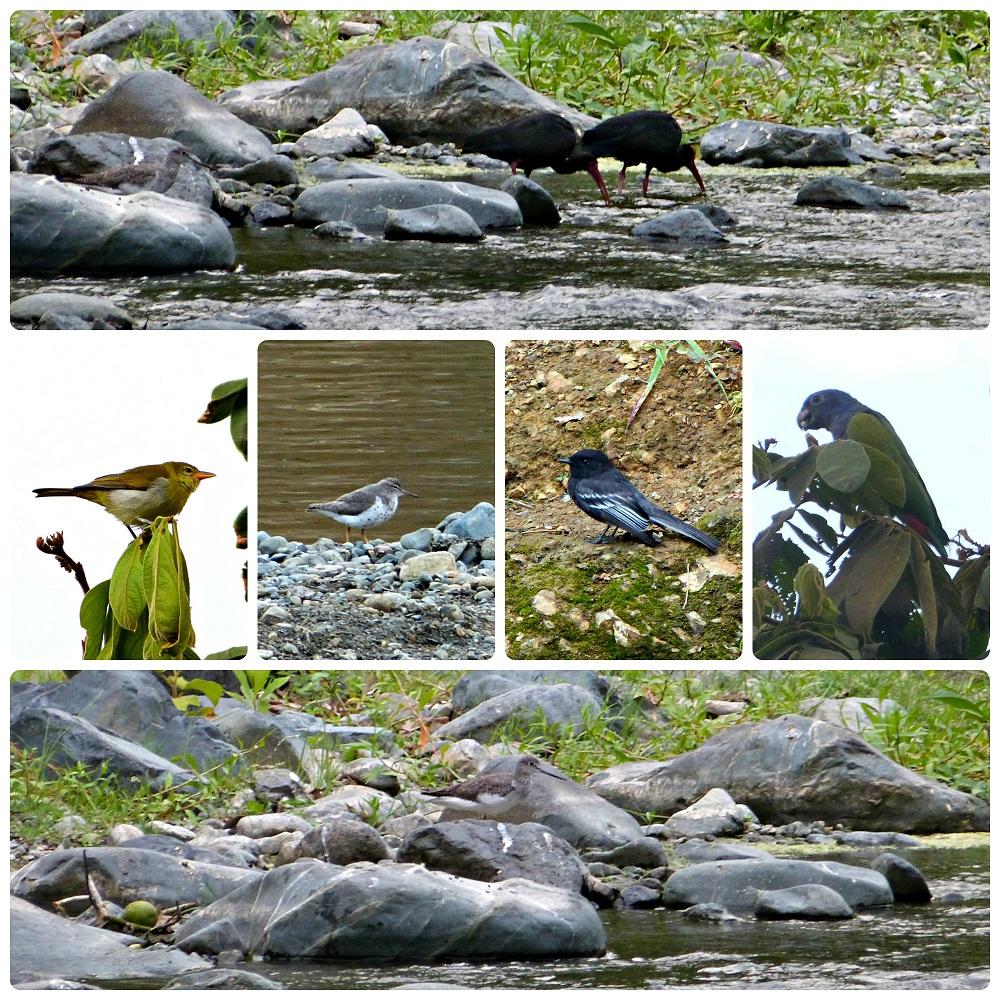 Photos des oiseaux rencontrés proche de la rivière du village de Portugal: Phimosus infuscatus, Hemithraupis guira, Actitis macularius, Sayornis nigricans, Pionus menstruus, Tringa melanoleuca