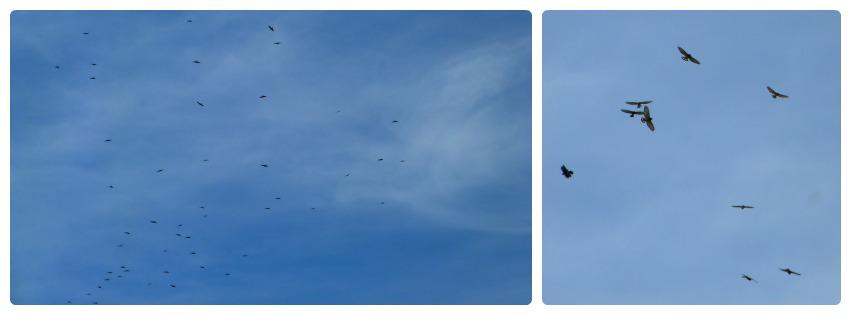 Oiseaux dans le ciel d'Aguadas : Buteo platypterus
