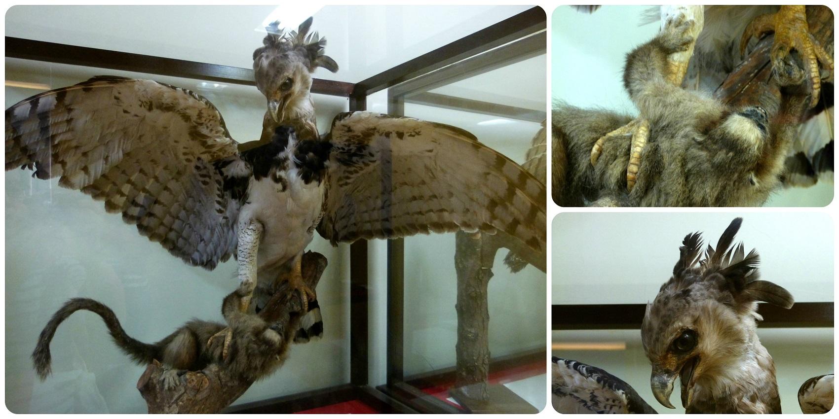 Águila expuesta en el Museo de historia natural de Popayán