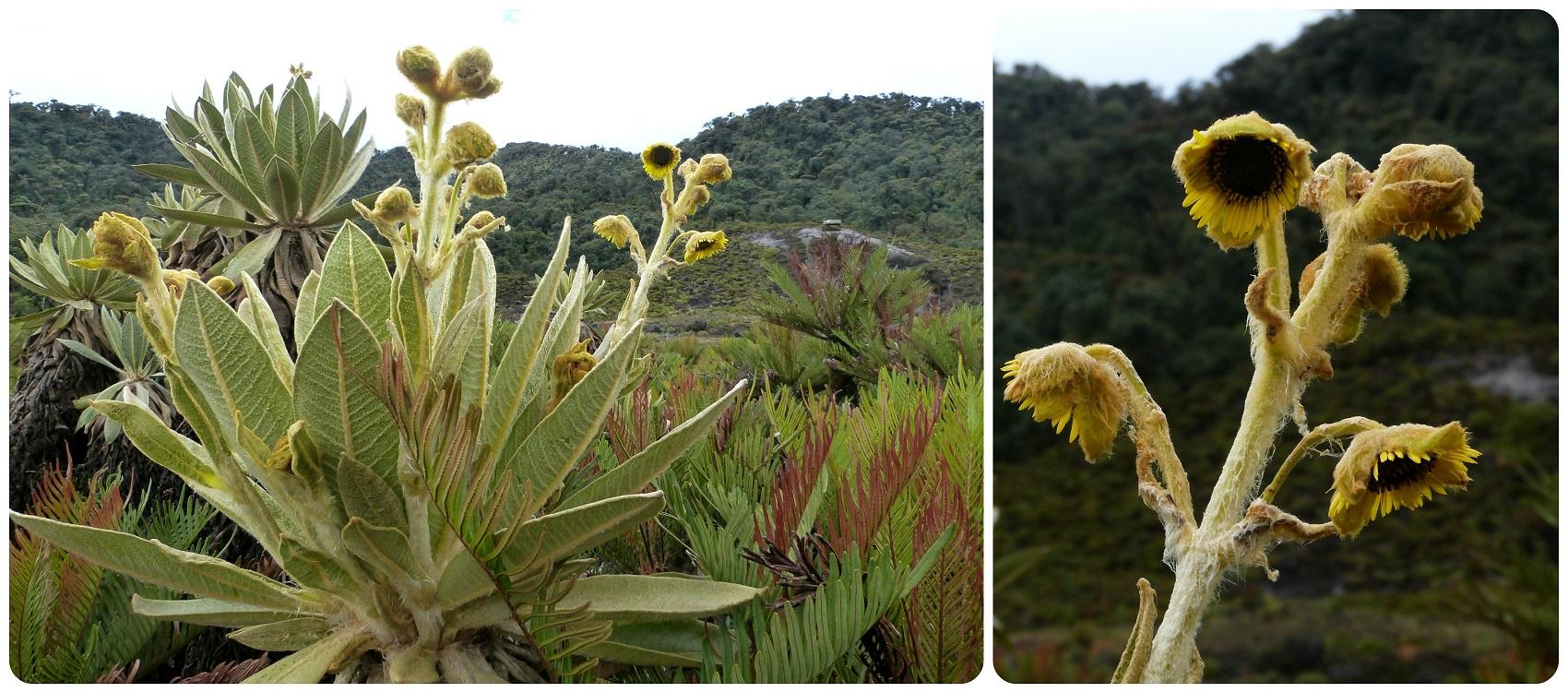 Plante du paramo aux thermes de san juan au parc naturel puracé