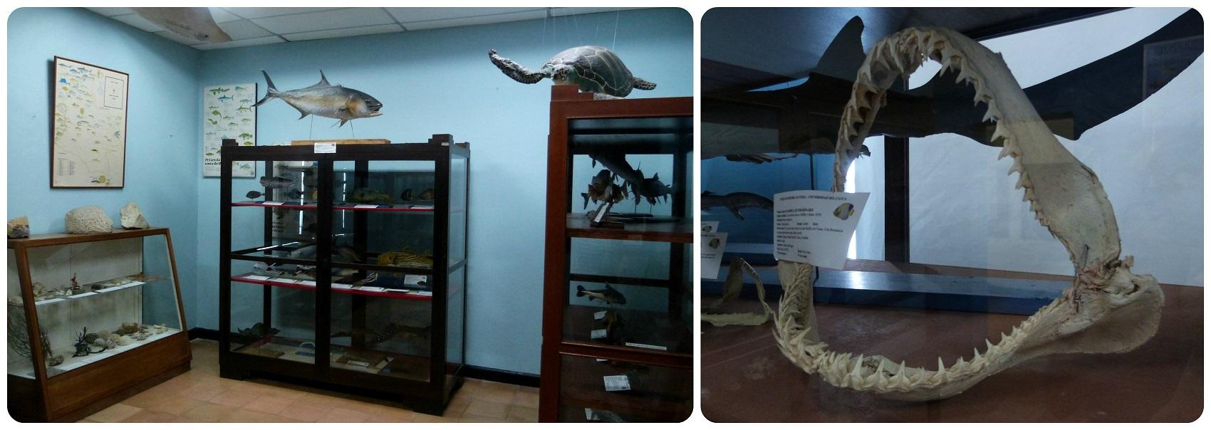 Mandíbula expuestas en el Museo de historia natural de Popayán