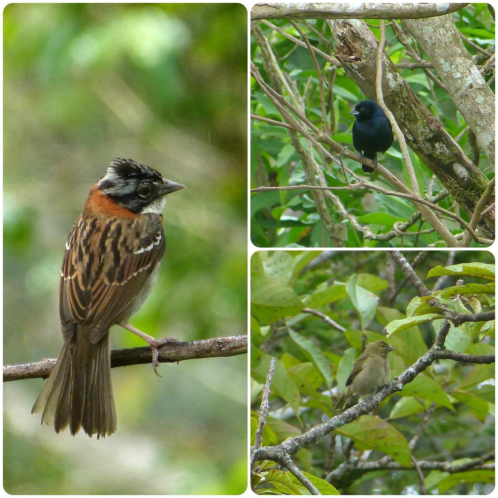 Aves encontradas en El Tambo cerca de Popayán : Zonotrichia capensis, Volatinia jacarina