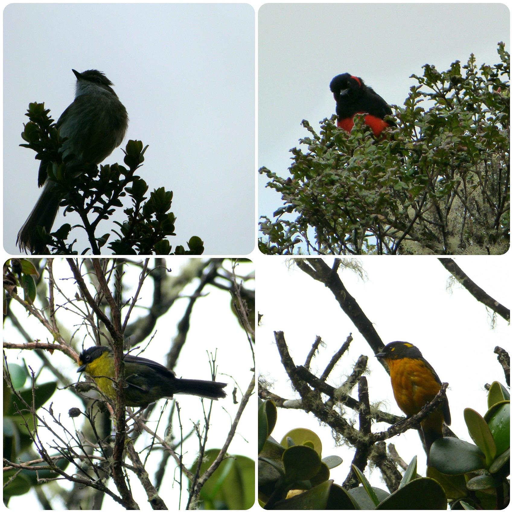 Oiseaux rencontrés sur le chemin vers les thermes de san juan au parc naturel Puracé : Anisognathus igniventris, Atlapetes pallidinucha, Anisognathus lacrymosus