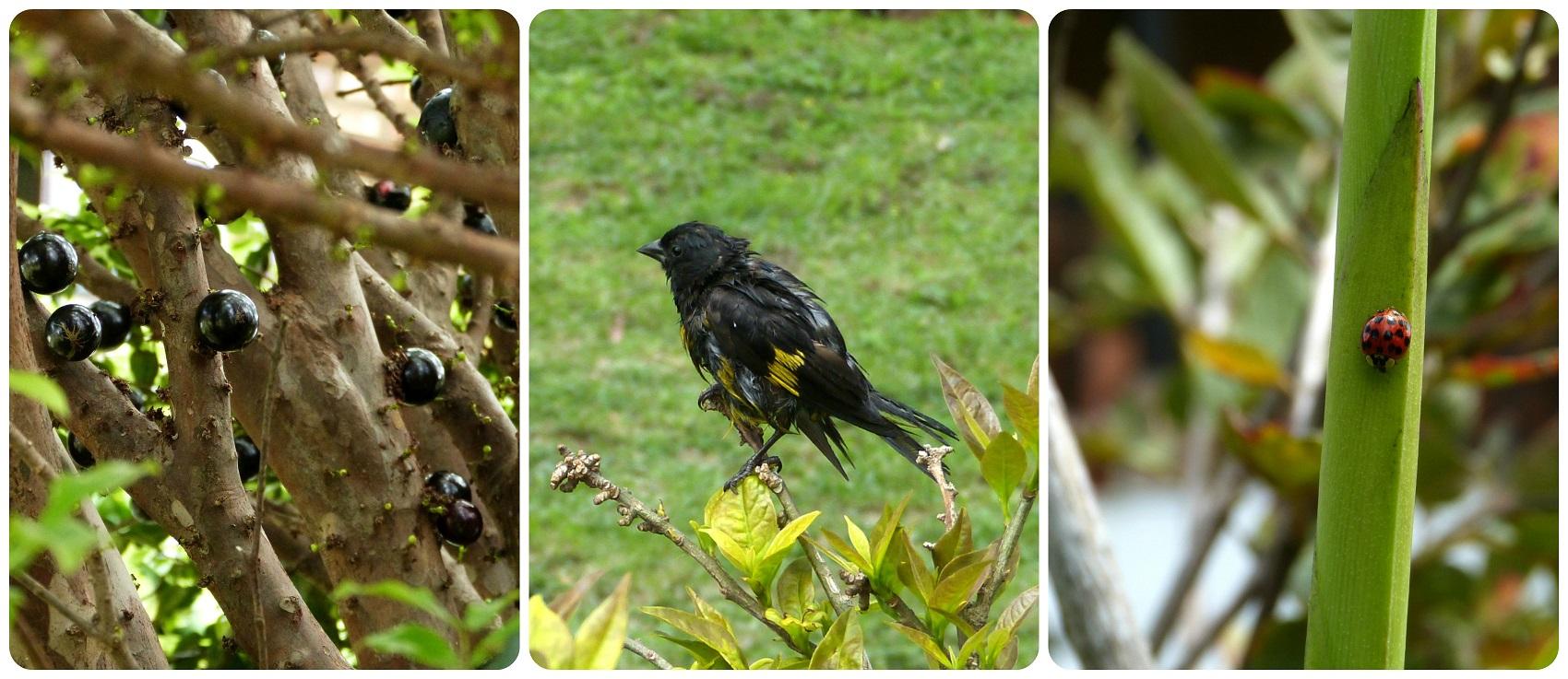 Frutos y animales encontrados en el jardín del restaurante Rancho de Lucho de Popayán : Spinus xanthogastrus