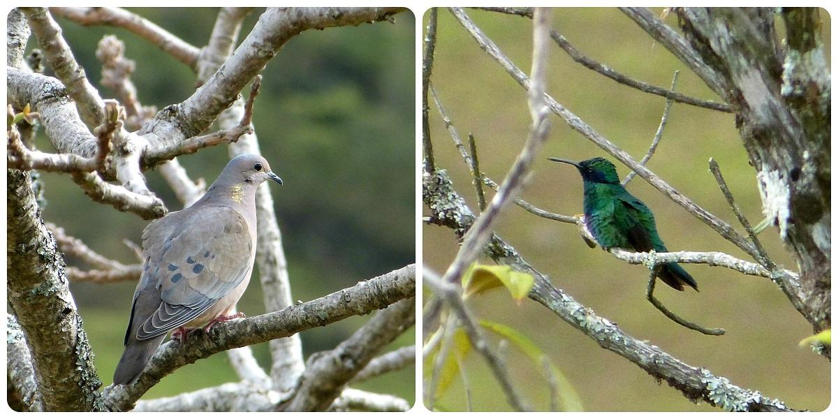 oiseaux à Silvia : Zenaida auriculata, Colibri coruscans