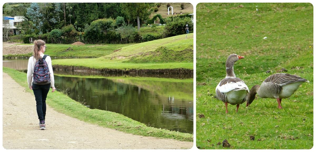 ocas durante un paseo al lago chiman en Silvia