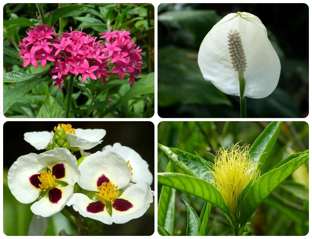 flores rosas, blancas y amarillas en el jardín botánico del Quindío en Calarcá