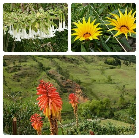 Fleurs de Silvia : Kniphofia uvaria