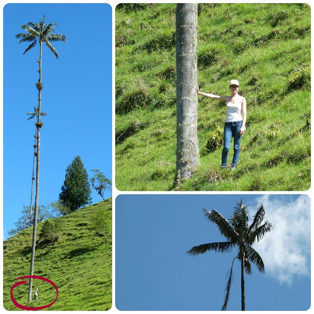 grandeza de las palmas de cera Ceroxylon quindiuense en el valle de Cocora