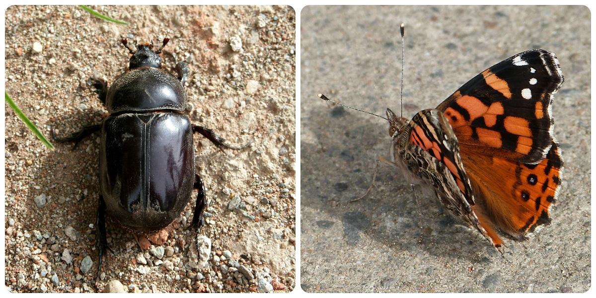 insectos en Silvia : Vanessa carye