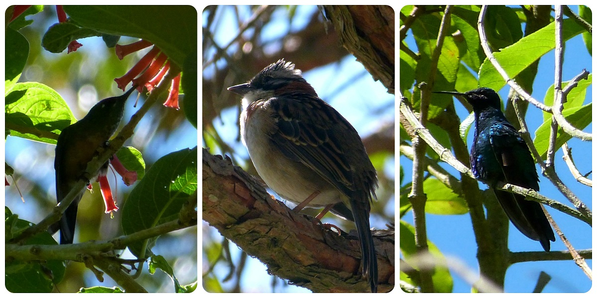 aves encontradas en el valle de Cocora : Lafresnaya lafresnayi, Zonotrichia capensis, Colibri coruscans