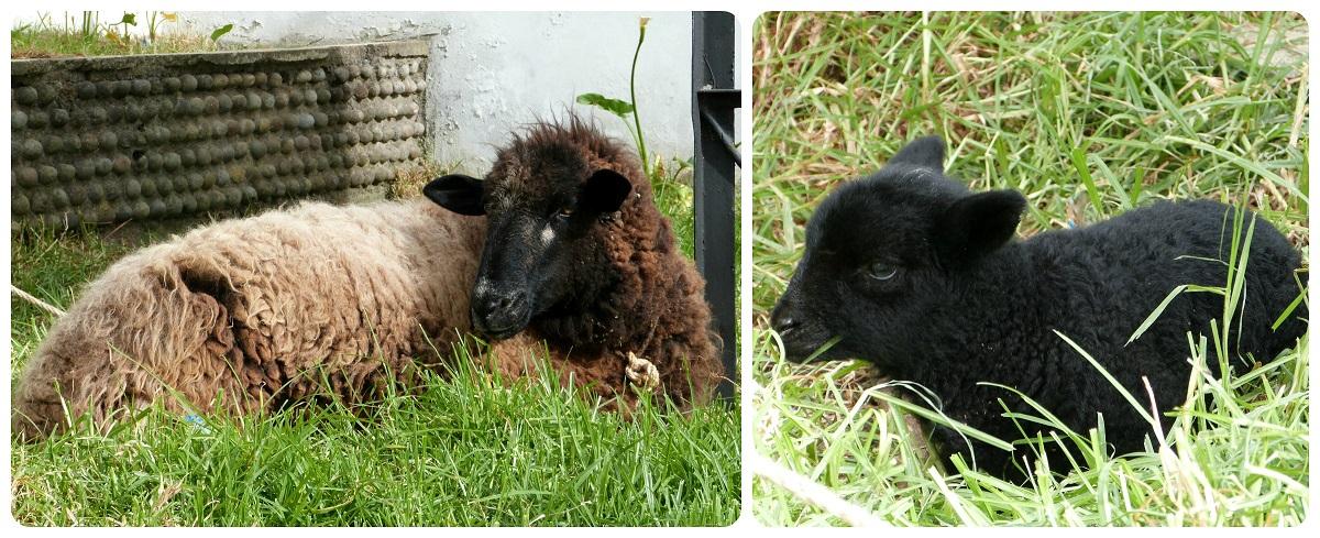 mouton et son bébé à silvia