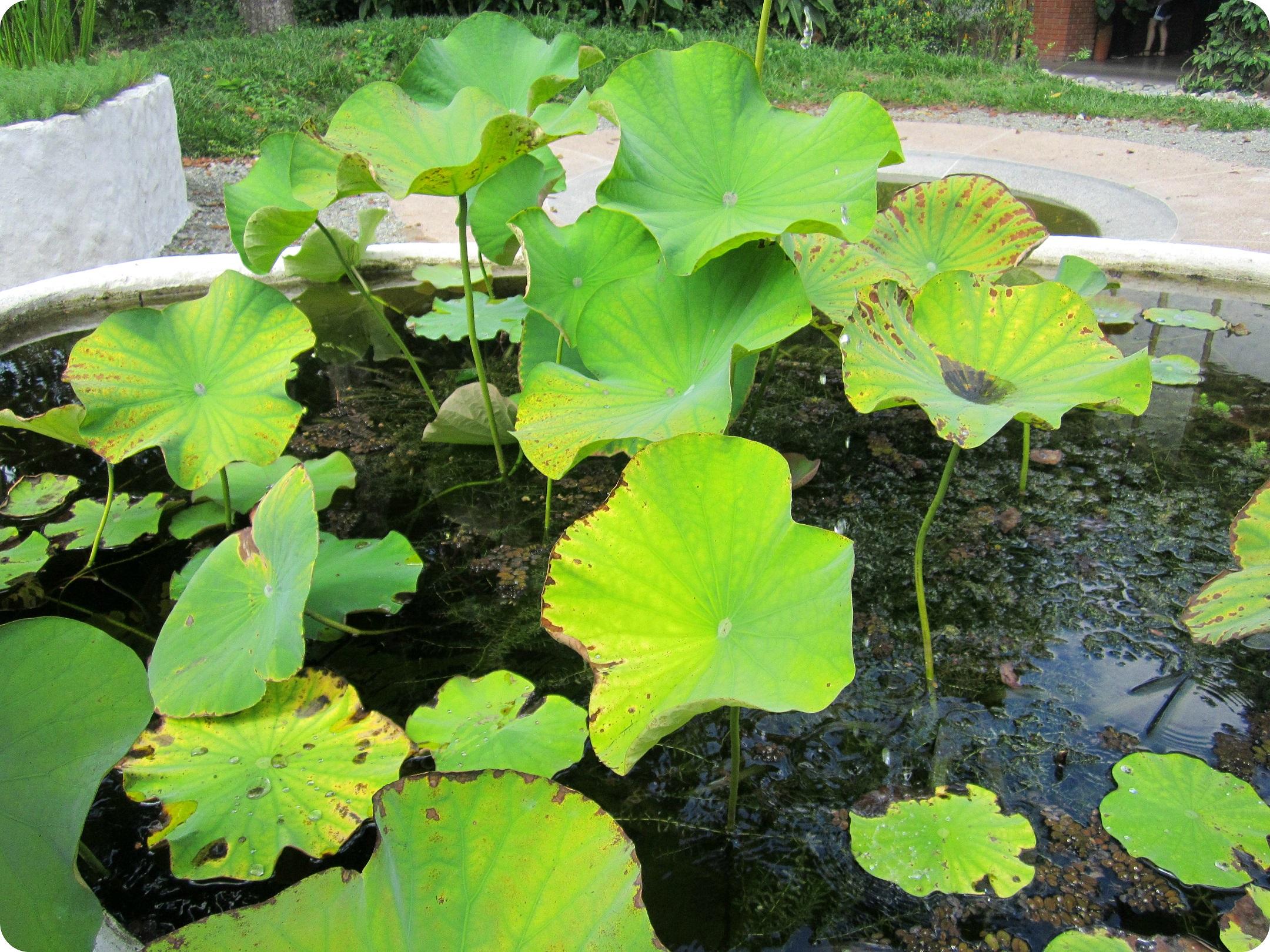 Nelumbo nucifera en el jardín botánico del Quindío en Calarcá