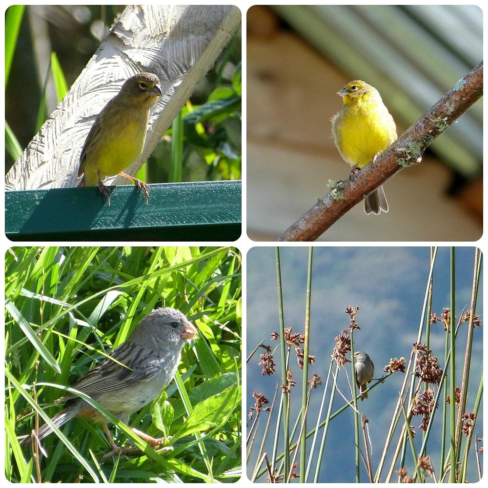 oiseaux rencontrés à la lagune de la Cocha à Pasto : Fringillidae, Catamenia inornata