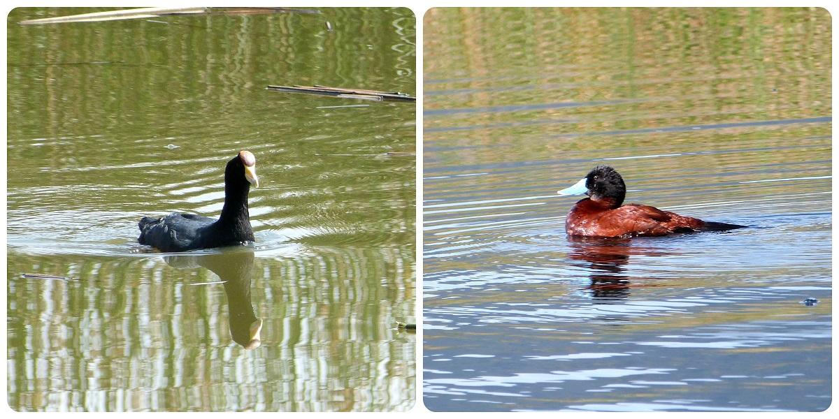 canards rencontrés à la lagune de la Cocha à Pasto : Fulica ardesiaca, Oxyura vittata
