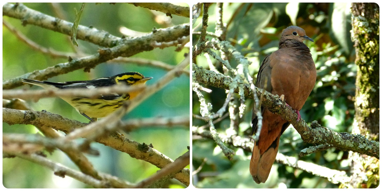 aves encontradas en el jardín botánico de Bogotá : Setophaga fusca, Zenaida auriculata