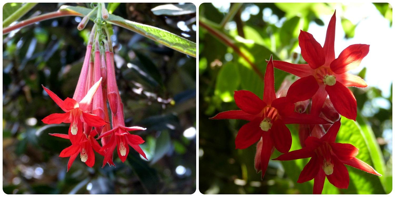 fleur rouge rencontrée au jardín botánico de Bogotá