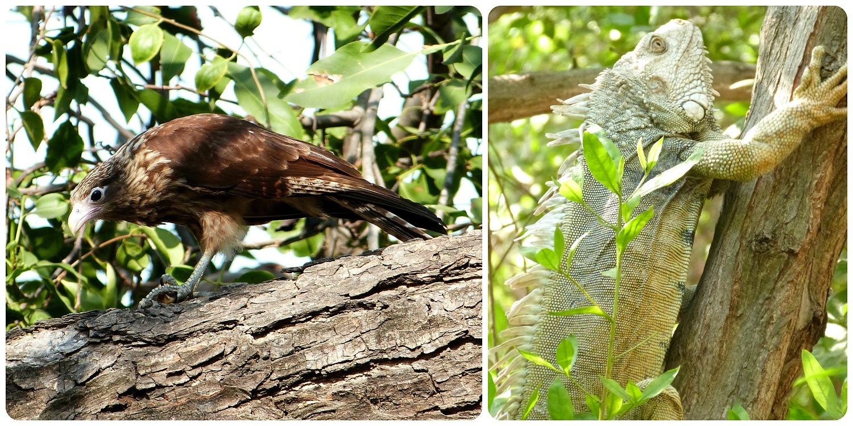 Ave e iguana en los árboles cerca al monumento a los zapatos viejos en Cartagena: Milvago chimachima e Iguana iguana